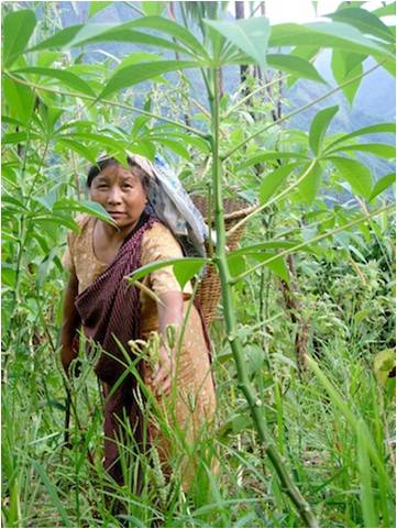 Millet - a jhum crop grown all over the north east of India